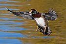 Wood Duck in the air by Eivor Kuchta