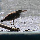 Juvenile Green Heron by Navigator
