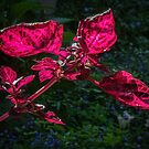 Red Leaved Plant Leith Park Victoria 20160920 7520 by Fred Mitchell
