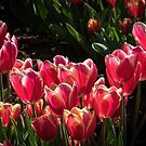 Mass of red with White edging, Tulips at Tesselaar Victoria Australia 20160923 7544 by Fred Mitchell