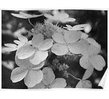 Hydrangeas Black and White Poster