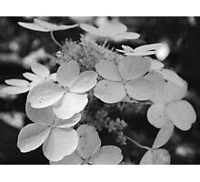 Hydrangeas Black and White Photographic Print