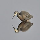 White faced Heron (Egretta novaehollandiae) by Andrew Bonnitcha