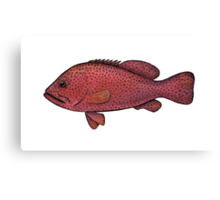 Red Sea Coral Grouper Canvas Print