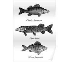 Zander, pike and perch Poster