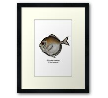 Silver spinyfin Framed Print