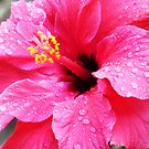 Pink Hibiscus with Spring Raindrops  by Virginia McGowan