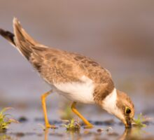 Little Ringed Plover (Charadrius dubius) wading in a pool. Sticker