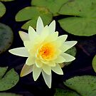 Waterlily by Bob Hardy