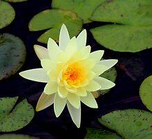 Waterlily by Bob Hardy