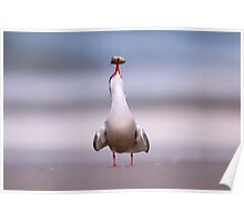 Common tern (Sterna hirundo) adult on the beach with a fish in its bill.  Poster