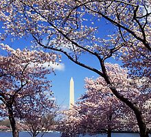 Washington Monument Through Cherry Blossoms by BravuraMedia
