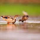 Wading birds in a foraging in a water pond  by PhotoStock-Isra