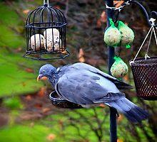 Damp pigeon feeding by missmoneypenny