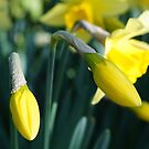 Daffodils unfurling by Deborah McGrath
