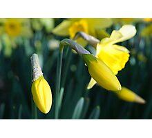 Daffodils unfurling Photographic Print
