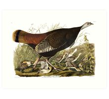 Female Wild Turkey - John James Audubon Art Print
