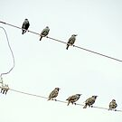 Seven Starlings by Diane Arndt
