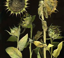 Last of the Sunflowers by Barbara Wyeth