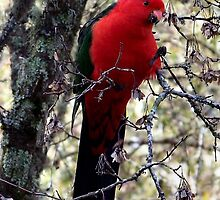King Parrot by WendyJC