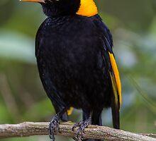 Regent Bower Bird by Steve Bass