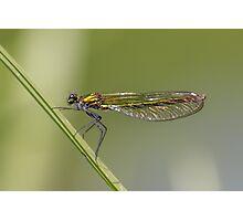 Female Banded demoiselle (Calopteryx splendens) Photographic Print