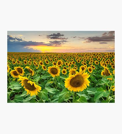 Sunflower Images - A Field of Golden Texas Wildflowers Photographic Print