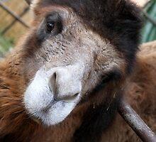 camel by spetenfia