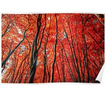 Red Forest of Sunlight Poster