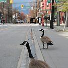Canada geese by Denzil
