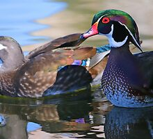 Wood Duck couple! by jozi1