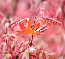 Spring Acer by loubradt