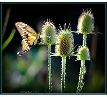 Giant Swallowtail Butterfly on a Teasel Photographic Print