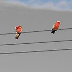 Wired up Galahs by indiafrank