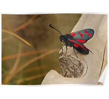 Five-spot Burnet Moth Poster