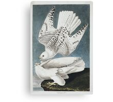 Gyrfalcon - John James Audubon Canvas Print
