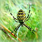Wasp Spider ~ Argiope bruennichi by ©The Creative  Minds