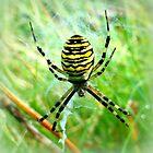 Wasp Spider ~ Argiope bruennichi by ©The Creative  Minds
