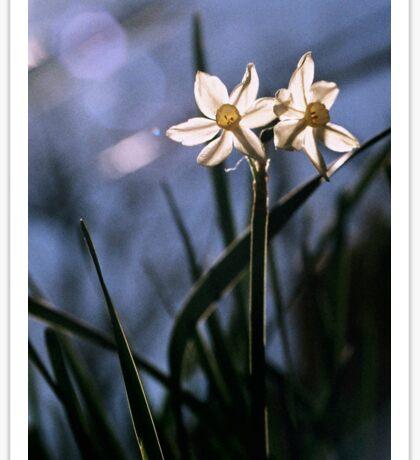 White Daffodils in the Sun Sticker