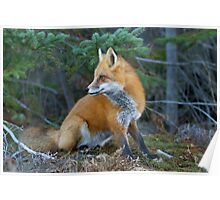 Red fox in Algonquin Park Poster