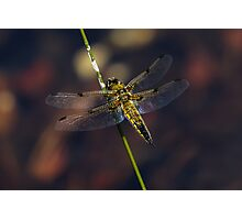 Four-spotted chaser (Libellula quadrimaculata) Photographic Print