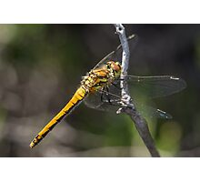 Female Black Darter dragonfly (Sympetrum danae) dragonfly perched on a twig. Photographic Print