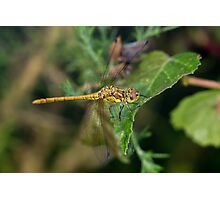 Immature or teneral Male Common Darter dragonfly(Sympetrum striolatum) perched on a leaf Photographic Print