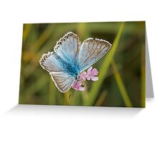 Male Chalkhill Blue butterfly (Polyommatus / Lysandra coridon) on small Scabious Greeting Card