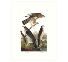 Northern Goshawk - John James Audubon Art Print