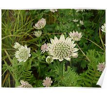 Detail of Astrantia Florence Poster