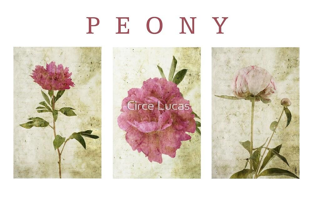 Peony Triptych by Circe Lucas