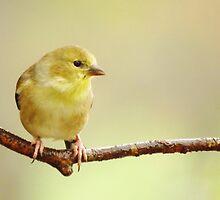 Sweet Little Goldie  by lorilee
