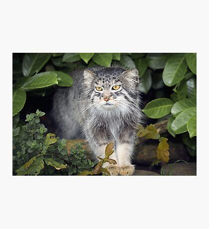 Wild Cats - Pallas Cat Photographic Print