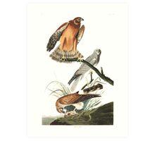 Northern Harrier - John James Audubon Art Print